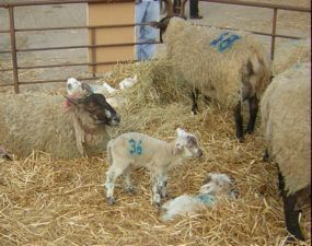 Lambs and sheep in pen